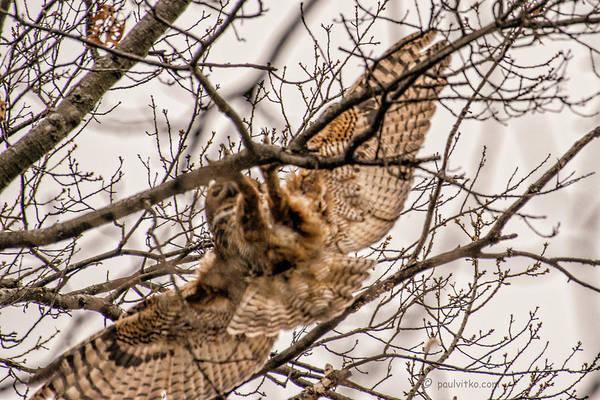 Photograph - Mother Owl Landing.... by Paul Vitko