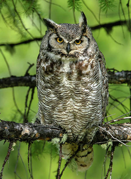 Photograph - Mother Owl by Ronnie and Frances Howard