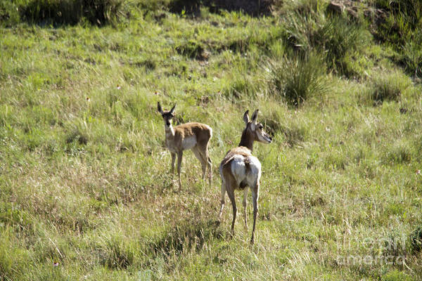 Wall Art - Photograph - Mother Pronghorn And Her Baby by Jeff Swan