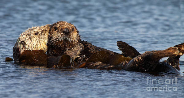Wall Art - Photograph - Mother Sea Otter Cuddling Baby by Max Allen