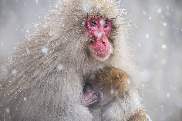 Monkey Wall Art - Photograph - Mother's Warmth by Takeshi Marumoto