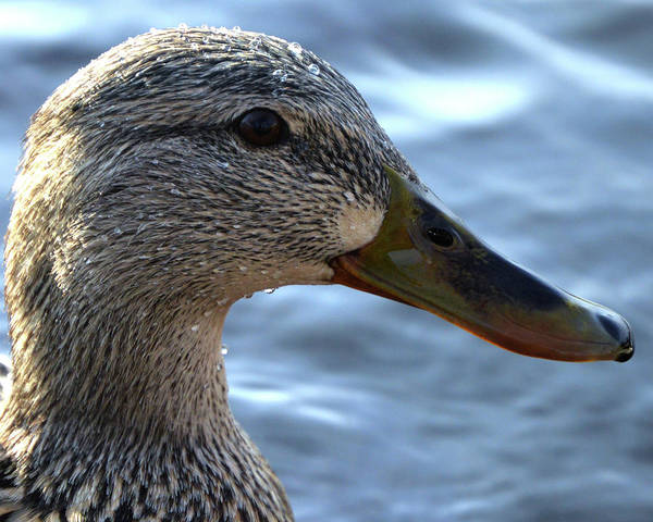 Photograph - Mottled Duck Big Spring Park Crop by Lesa Fine