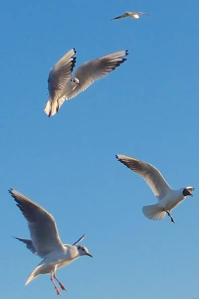 Photograph - Mouettes by Marc Philippe Joly