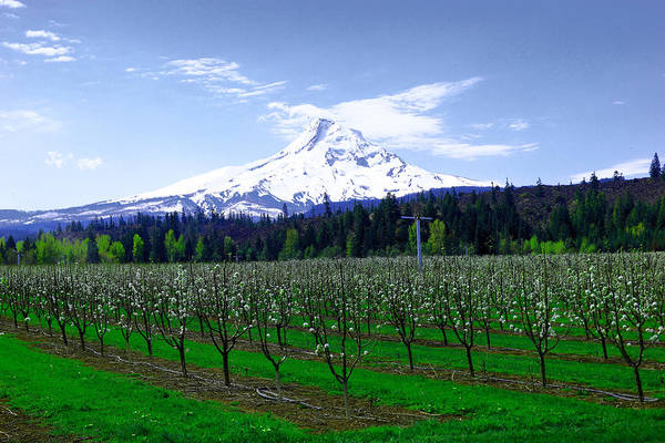 Wall Art - Photograph - Mount Hood Behind Orchard Blossoms by Jeff Swan