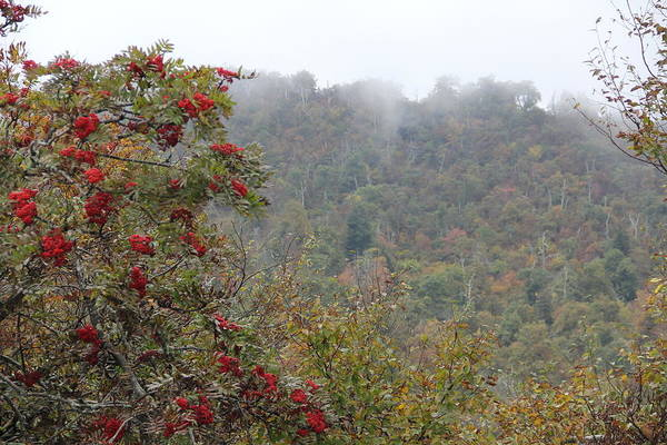 Photograph - Mountain Ash Mist by Allen Nice-Webb