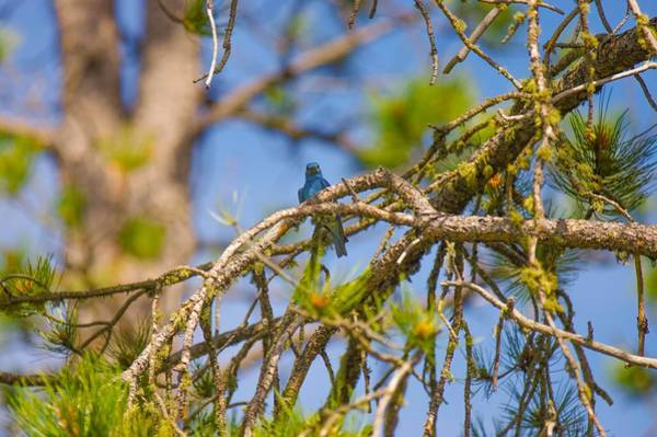 Photograph - Mountain Bluebird by Amanda Smith
