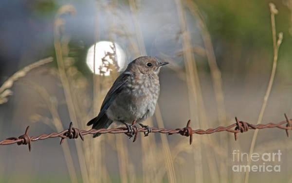 Bluebird Wall Art - Photograph - Mountain Bluebird by Gary Wing