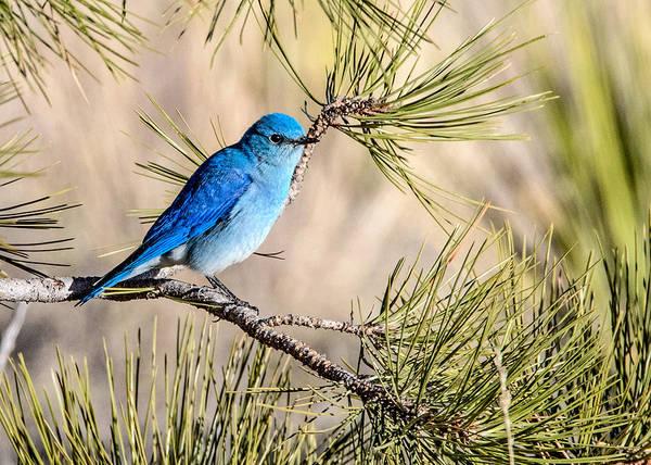 Wall Art - Photograph - Mountain Bluebird In A Pine by Dawn Key
