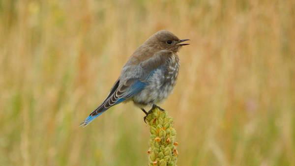 Photograph - Mountain Bluebird Juvenile by Dan Miller