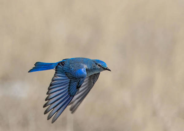 Wall Art - Photograph - Mountain Bluebird Male In Flight by Dawn Key