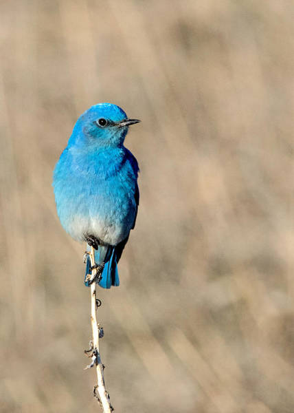Wall Art - Photograph - Mountain Bluebird On A Stem. by Dawn Key