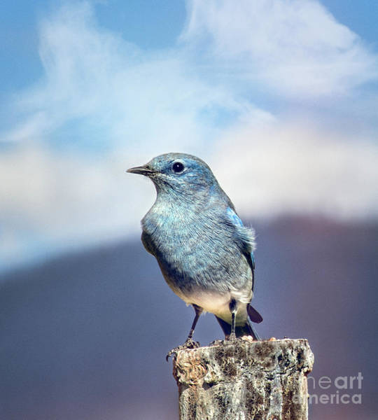 Photograph - Mountain Bluebird by Susan Warren