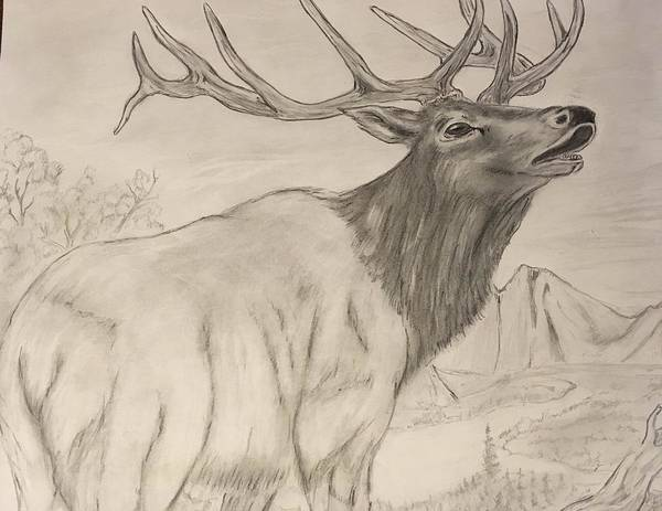 Bugling Drawing - Mountain Bull by Robert Polley