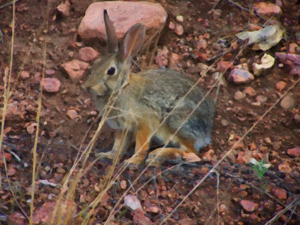 Spring Mountains Digital Art - Mountain Cottontail by Chris Flees