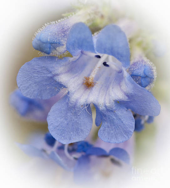 Photograph - Mountain Flower Blue by David Waldrop