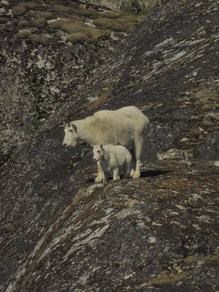 Photograph - Mountain Goat And Kid by NaturesPix