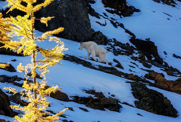 Mountain Goat Photograph - Mountain Goat And Larches by Pelo Blanco Photo