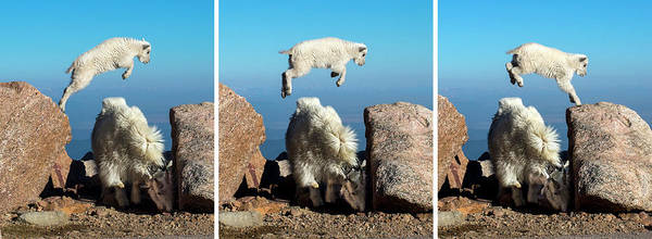 Photograph - Mountain Goat Leap-frog Triptych by Judi Dressler