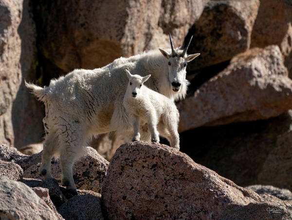 Photograph - Mountain Goat Mom To The Rescue by Judi Dressler