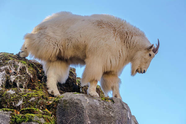 Clear Coat Wall Art - Photograph - Mountain Goat On Cliff Edge by Marv Vandehey
