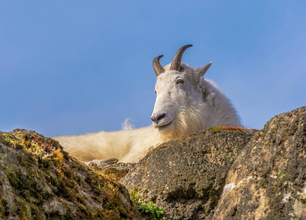 Clear Coat Wall Art - Photograph - Mountain Goat On Rock by Marv Vandehey