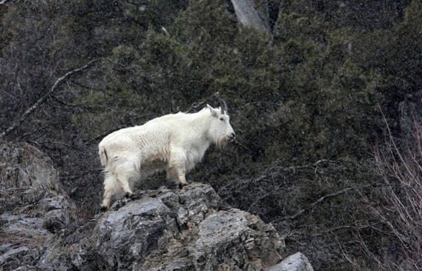 Photograph - Mountain Goat by Ronnie and Frances Howard