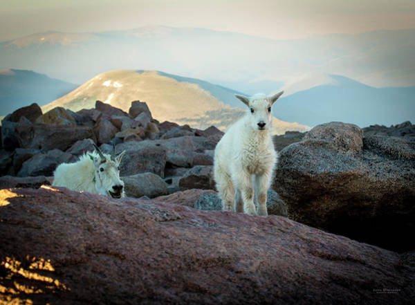 Photograph - Mountain Goat Scolding Baby by Judi Dressler