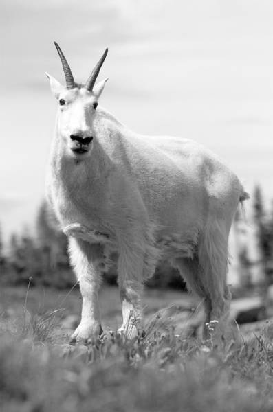 Photograph - Mountain Goat by Sebastian Musial