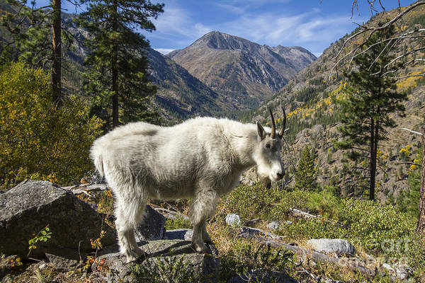 Photograph - Mountain Goat Sentry by Photography by Laura Lee