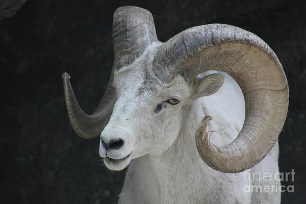 Photograph - Mountain Goat by Wilko Van de Kamp