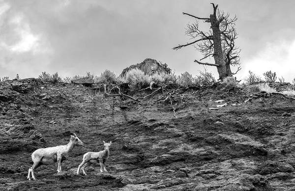 Photograph - Mountain Goat With A Kid For A Walk by Alex Galkin