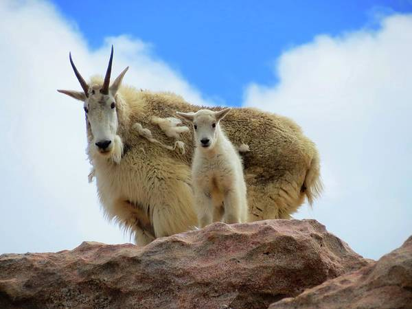 Goat Rocks Wilderness Wall Art - Photograph - Mountain Goats by Connor Beekman