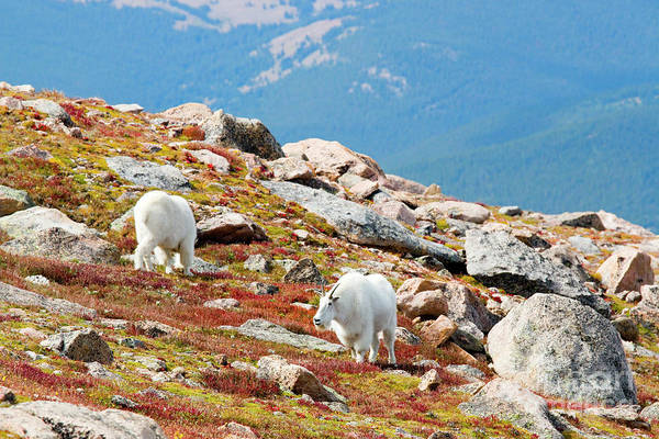 Photograph - Mountain Goats On Tundra On Mount Bierstadt Colorado by Steve Krull