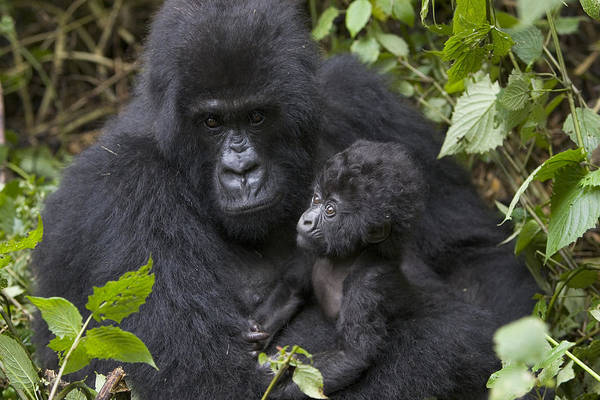 Photograph - Mountain Gorilla And Baby Rwanda by Suzi Eszterhas