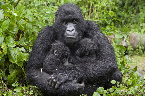 Photograph - Mountain Gorilla Mother Holding 5 Month by Suzi Eszterhas