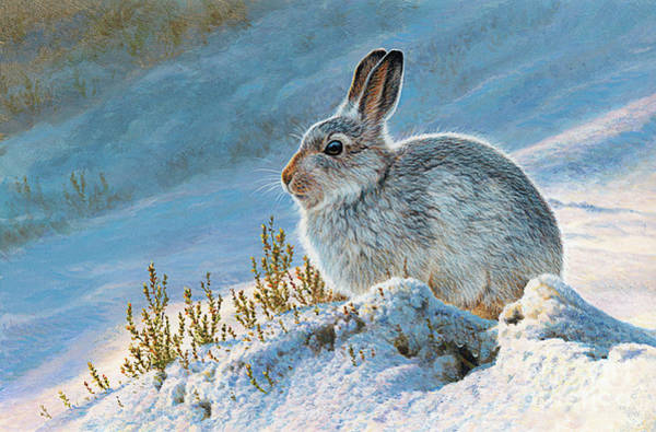 Photograph - Mountain Hare by Andrew Hutchinson