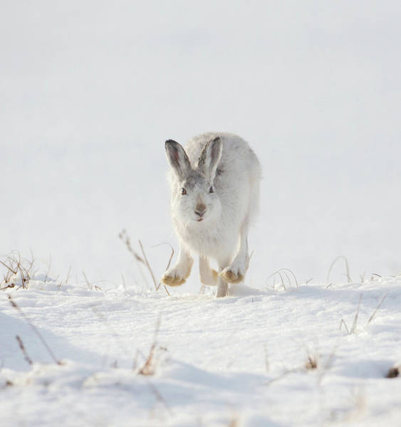 Photograph - Mountain Hare Approaching by Peter Walkden