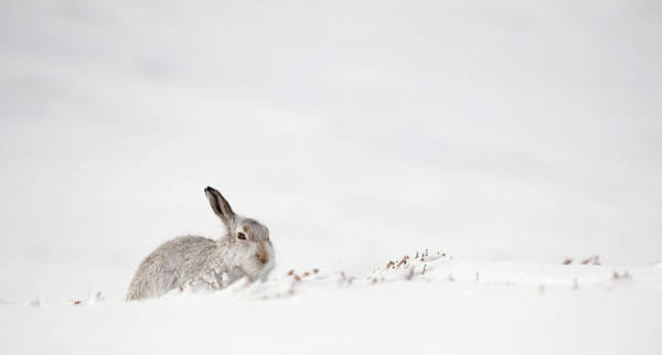 Photograph - Mountain Hare Awakens by Peter Walkden