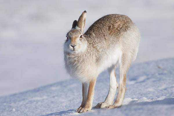 Photograph - Mountain Hare In The Snow - Lepus Timidus  #2 by Karen Van Der Zijden