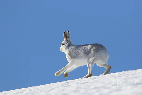 Photograph - Mountain Hare In Winter by Arterra Picture Library