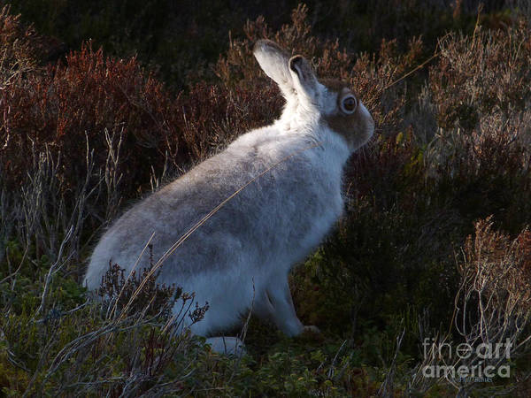 Photograph - Mountain Hare by Phil Banks