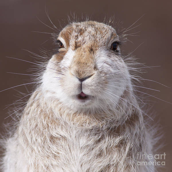 Photograph - Mountain Hare - Scottish Highlands  #6 by Karen Van Der Zijden