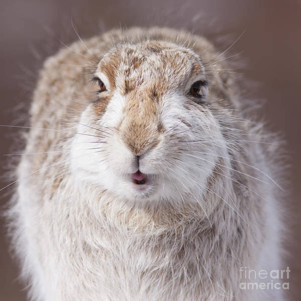 Photograph - Mountain Hare - Scottish Highlands  #7 by Karen Van Der Zijden