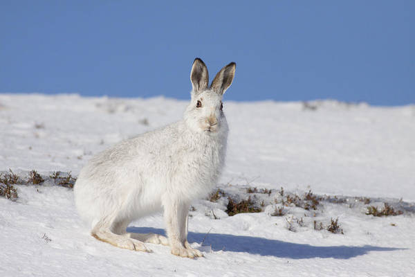 Photograph - Mountain Hare - Scottish Highlands  #9 by Karen Van Der Zijden