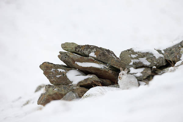Photograph - Mountain Hare Sheltering By Rocks by Peter Walkden