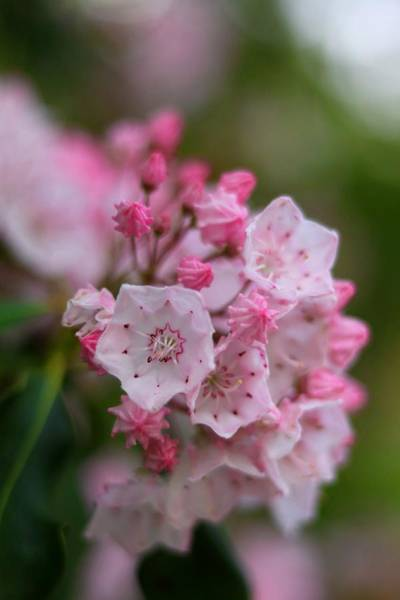 Kalmia Photograph - Mountain Laurel by Carol Montoya