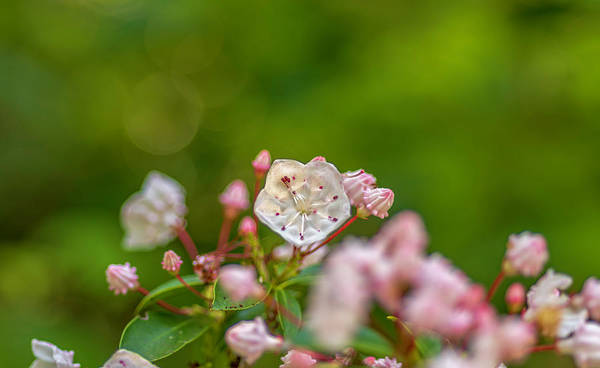 Photograph - Mountain Laurel Flora by Keith Smith