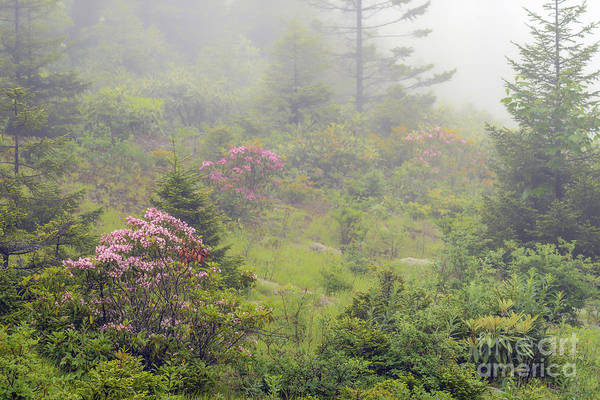 Kalmia Photograph - Mountain Laurel In Mist by Thomas R Fletcher
