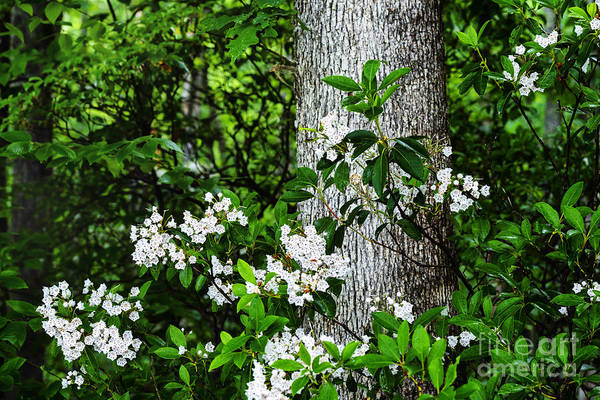 Kalmia Photograph - Mountain Laurel In Rain by Thomas R Fletcher