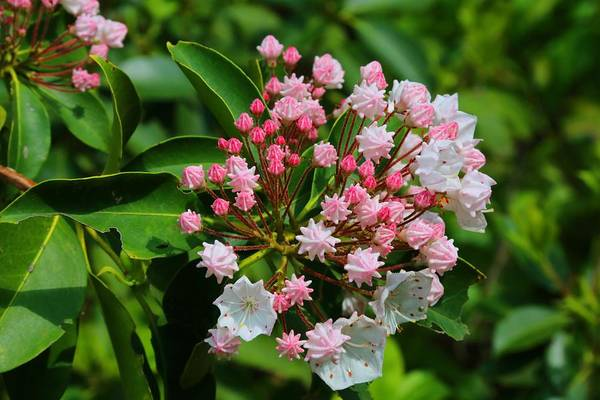 Kalmia Photograph - Mountain Laurel by Kathryn Meyer